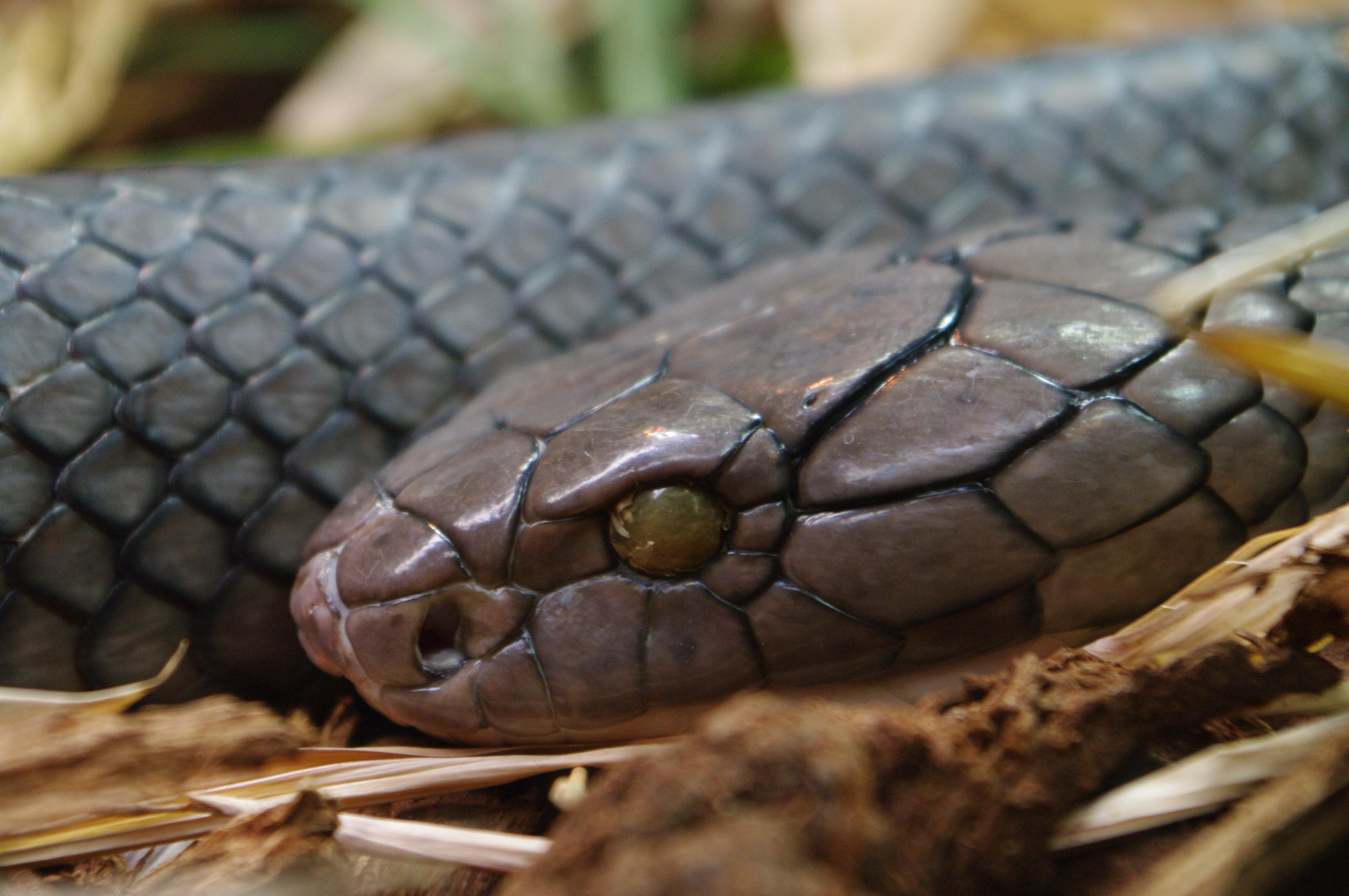 King cobra deadliest snake