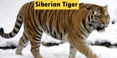 Siberian tiger Classification and Characteristics