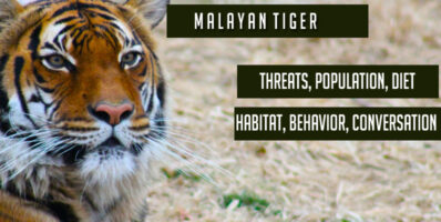 Malayan tiger - Habitat, Behavior, Conversation, Threats, Population, Diet