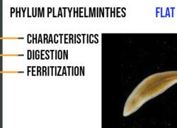 Phylum Platyhelminthes Characteristics, Digestion, Ferritization