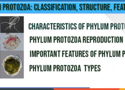 Phylum Protozoa-characteristics-types-classification-shape-reproduction
