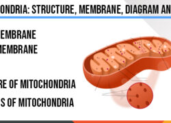 mitochondria-structure-membrane-diagram-and-facts