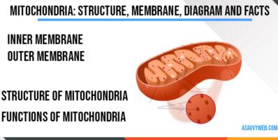 mitochondria-structure-membrane-diagram-and-facts